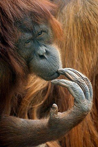 Bornean Orangutan (Pongo pygmaeus), thoughtful-looking female, portrait