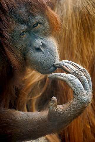 Bornean Orangutan (Pongo pygmaeus), thoughtful-looking female, portrait - 832-13389