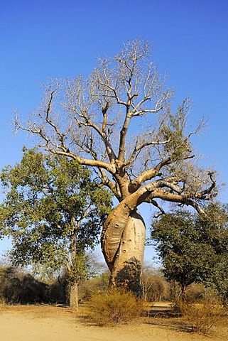 Intertwined Baobabs (Adansonia grandidieri), Morondava, Madagascar, Africa