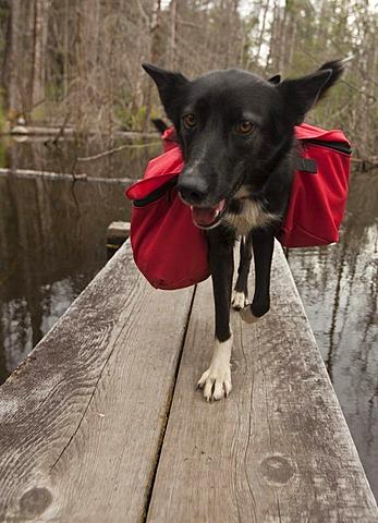 Pack dog, sled dog, Alaskan Husky, carrying dog packs, backpacks, wooden boardwalk, swamp, Chilkoot Trail, Chilkoot Pass, Alaska, USA