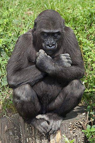Young Gorilla (Gorilla) - 832-14230