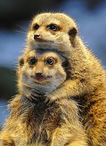 Meerkats or Suricates (Suricata suricatta) - 832-14234