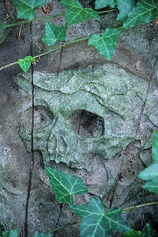 Skull on an old grave stone with ivy