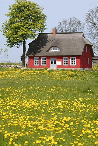 Field of dandelion in front of a red house on Ruegen, Mecklenburg-West Pomerania, Germany, Europe