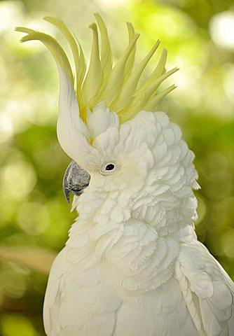 Sulphur-crested Cockatoo (Cacatua galerita), crest in raised position, Queensland, Australia - 832-14519