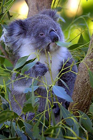 Koala , Phascolarctus cinereus, victoria, Australia