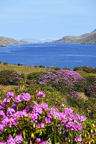 Rhododendron shrubs on the Killary Harbour, Connemara, County Galway, Republic of Ireland, Europe