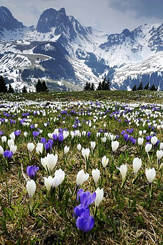 Blooming crocuses (Crocus vernus) near the Gurnigel Pass, the snowy Alps at the back, Bern, Switzerland, Europe