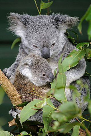 Koala (Phascolarctos cinereus), mother with young, Queensland, Australia
