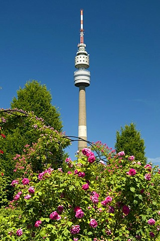 TV Tower, so-called Florian, roses in bloom, rose garden, Westfalenpark, Dortmund, Ruhrgebiet region, North Rhine-Westphalia, Germany, Europe