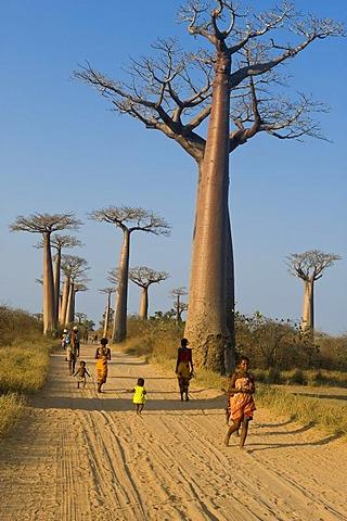 Alley of the Baobabs (Adansonia grandidieri), Morondava, Madagascar, Africa