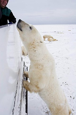 Polar bear (Ursus maritimus) standing on its back legs at the railing of a Tundra Buggy, Churchill, Manitoba, Canada