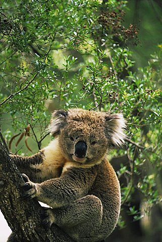 Koala (Phascolarctos cinereus), Koala Conservation Center, Phillip Island, Victoria, Australia