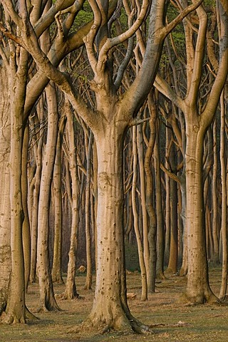 """Beeches in the Nienhaeger Holz forest or """"Gespensterwald"""", ghost forest on the Baltic Sea, Nienhagen, Mecklenburg-Western Pomerania, Germany, Europe"""