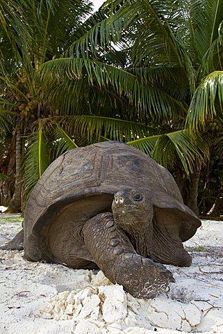 Aldabra Giant Tortoise (Aldabrachelys gigantea, syn. Geochelone gigantea, Dipsochelys elephantina and Dipsochelys dussumieri), portrait, Curieuse island, Praslin, Seychelles, Africa, Indian Ocean