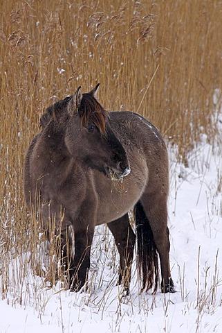 Konik or Polish primitive horse (Equus przewalskii f. caballus) in winter in snow