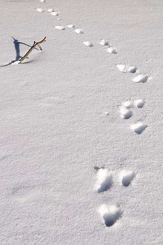 Animal tracks in the snow on the Grosser Arbersee lake, Bavarian Forest Nature Park, Bavaria, Germany, Europe