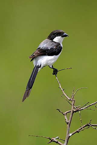 Common Fiscal of Fiscal Shrike (Lanius collaris) perched on a lookout branch, Nairobi National Park, Kenya, East Africa, Africa