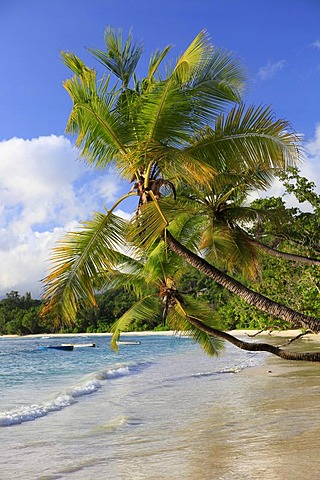 Coconut palms (Cocos nucifera) at Baie Lazare, Mahe island, Seychelles, Africa, Indian Ocean