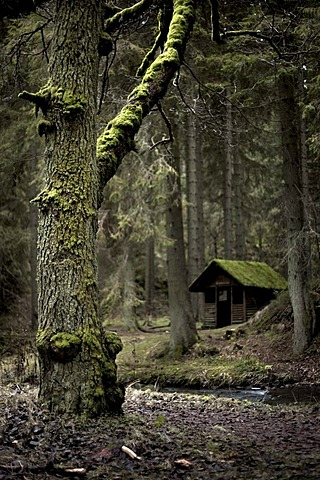 Old house with an old tree in the Roetenbachschlucht valley in the Black Forest, Baden-Wuerttemberg, Germany, Europe