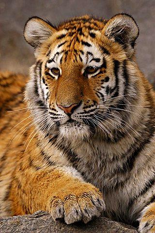 Siberian Tiger (Panthera tigris altaica), cub