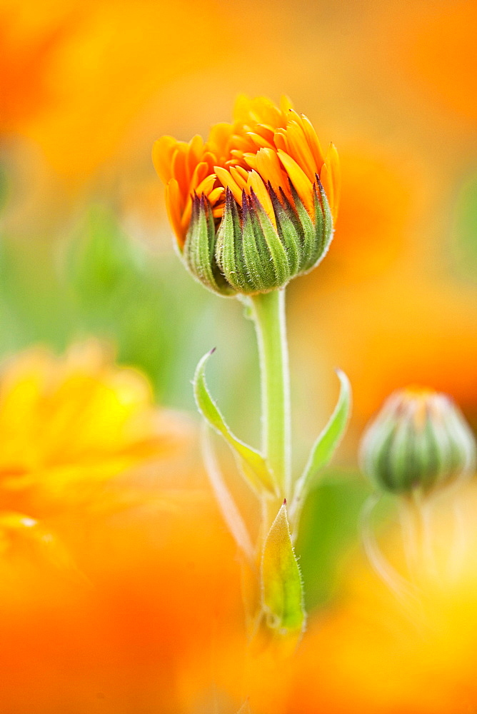 Marigold (Calendula officinalis) flower preparing to open