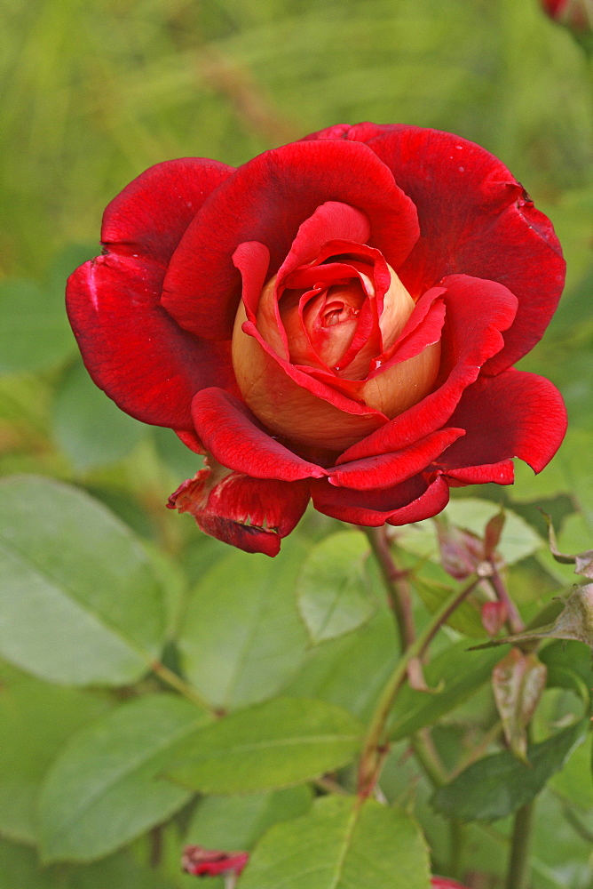 Shrub Rose (Rosa)