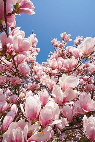 Magnolia (Magnolia) in bloom