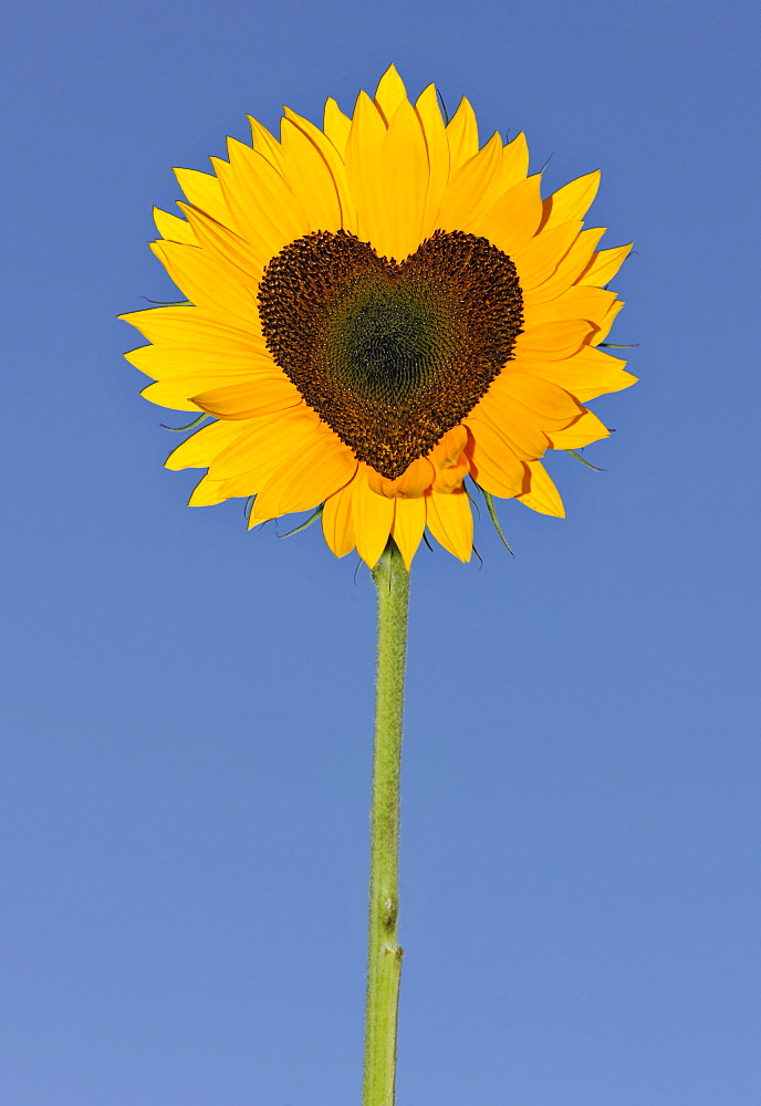 Sunflower (Helianthus annuus) with tubular flowers in heart shape