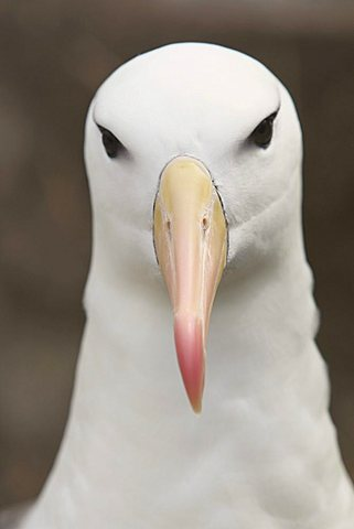 Black-browed Albatross or Black-browed Mollymawk (Diomedea melanophris), Falkland Islands, South America - 832-22502