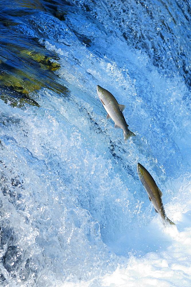 Blueback salmons (Oncorhynchus nerka) trying to conquer the waterfall upwards, Brooks River, Brooks Falls, Katmai National Park, Alaska, USA