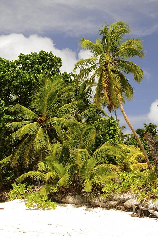 Coconut Palm trees (Cocos nucifera), Anse Lazio, Praslin Island, Seychelles, Africa, Indian Ocean
