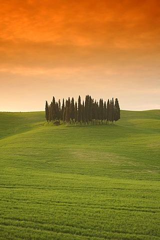 Evening mood, cypress grove near Montalcino, Tuscany, Italy, Europe