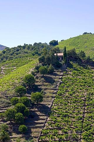 Vinicultural terraces in Banyuls sur Mer, Cote Vermeille, Pyrenees-Orientales, Roussillon, Languedoc-Roussillon, South France, France