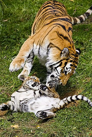 Siberian Tiger (Panthera tigris altaica), mother and cub playing, Siberia, Asia, zoo