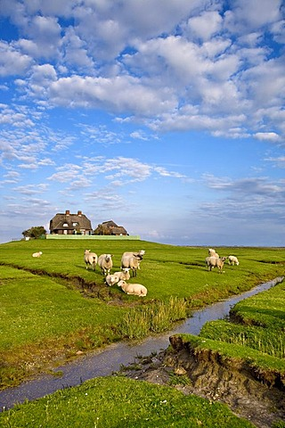 Sheep on a warft, dwelling mount, Hallig Suedfall, North Frisia, Schleswig-Holstein, Germany, Europe