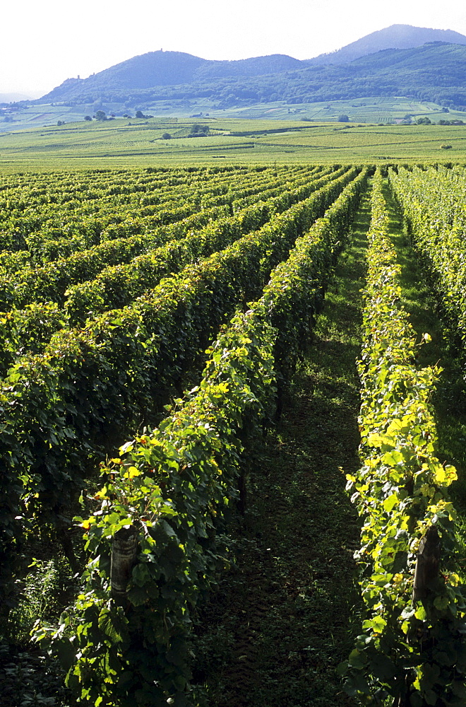 Vineyards in Ribeauville, viticulture, winemaking, vineyards, Alsace, France, Europe