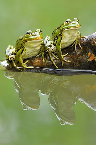Edible frogs (Rana esculenta) with reflection - 832-24125