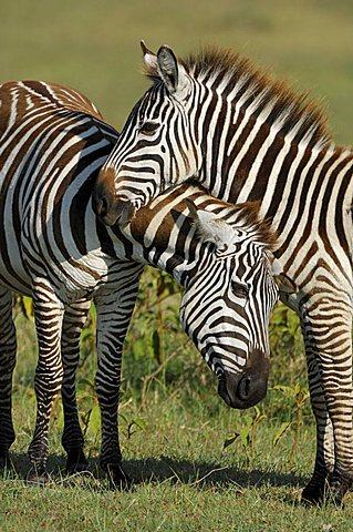 Plains Zebras (Equus quagga) Lake Nakuru Kenya Africa