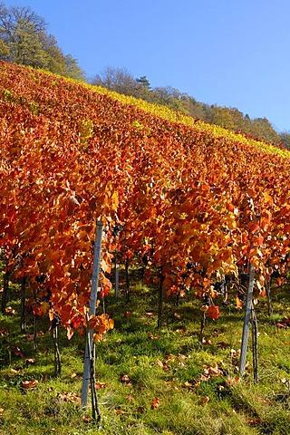 Lemberger grape vineyard in autumn