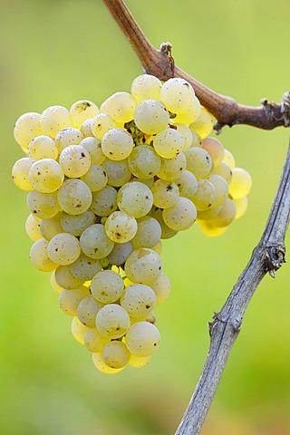 Riesling grape, grapevine