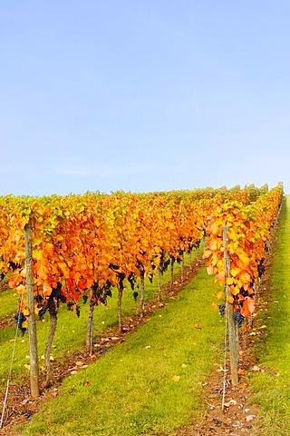 Vineyard near Stetten im Remstal, Baden-Wuerttemberg, Germany, Europe