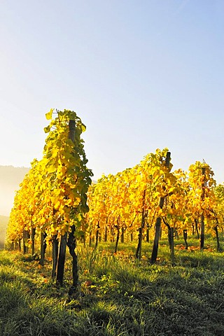 Vineyard with Riesling grapes, Stetten im Remstal, Baden-Wuerttemberg, Germany, Europe