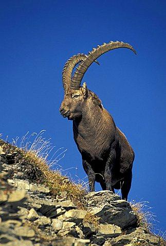 Alpine Ibex, Bouquetin, Steinbock (Capra ibex), male