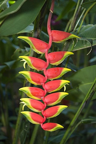 Lobster claw or Wild plantain (Heliconia rostrata) inflorescence, Venezuela, South America