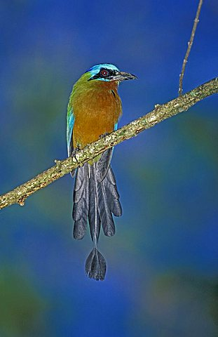 Blue-crowned Motmot (Momotus momota), Tobago, Trinidad and Tobago, Caribbean