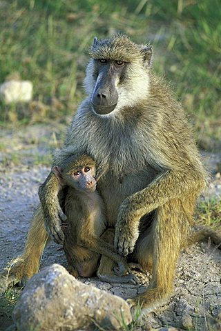 Female Yellow Baboon (Papio cynocephalus) with young, Amboseli National Park, Kenya, Africa