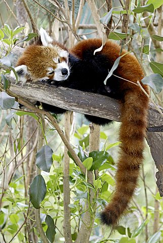 Red or Lesser Panda, Firefox (Ailurus fulgens fulgens), sleeping adult, native to Asia, China