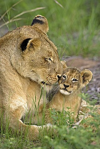 Lion (Panther leo), lioness and cub, social interaction, Sabi Sand Game Reserve, South Africa