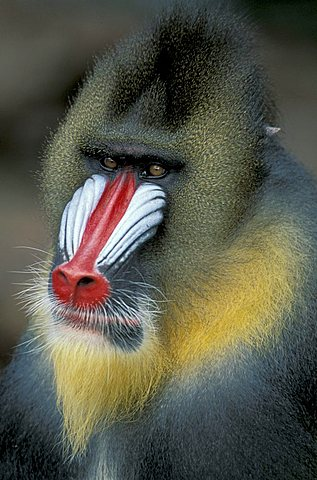 Mandrill monkey (Mandrillus sphinx), adult male, portrait, native to Africa